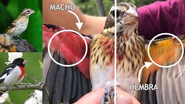 Descubren un pájaro que es mitad hembra y mitad macho   HCH.TV